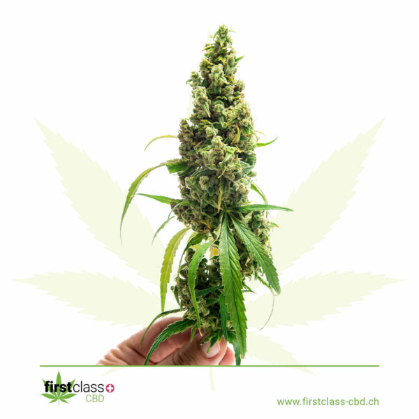 firstclass-cannabis-CBD-green-one6